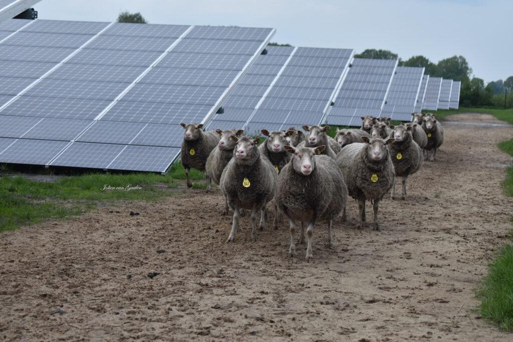 Schapen bij zonnepark de Groene Weuste in Wierden.